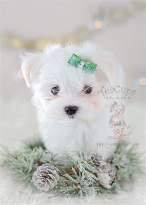 teacup maltese puppies for sale in michigan teacup puppies for sale teacups puppies boutique