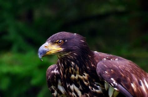 predatory bird 169 roberto braam birds of prey pinterest
