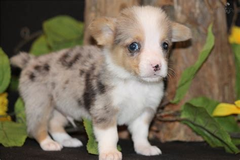 corgi puppies dallas corgi pembroke puppy for sale near dallas fort worth 9e5a082e e811