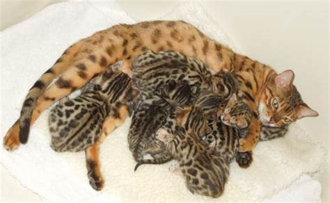 cat price image gallery how much bengal kittens