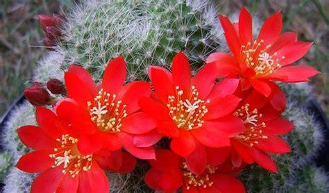 immagini di fiori e piante piante grasse fiorite piante grasse piante grasse in fiore