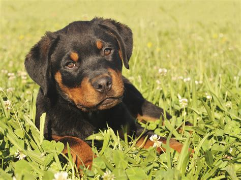 hip problems in rottweilers common rottweiler health problems health problems by breeds