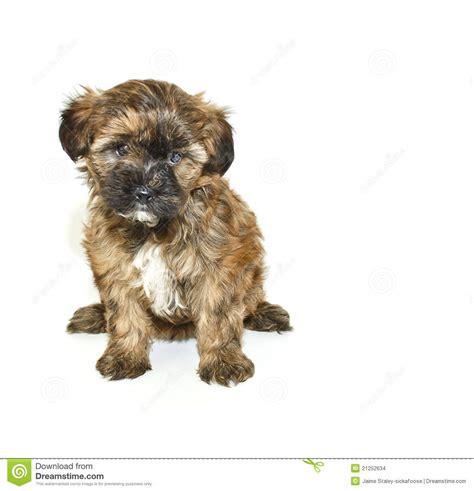 brown and black yorkie poo black and brown yorkie poo hairstylegalleries