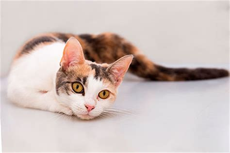 will neutering calm my will neutering calm my kitten and other neutering faqs meow cats