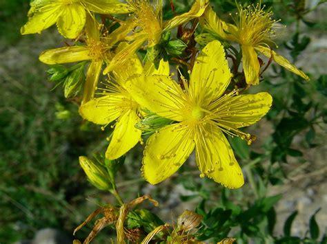 iperico fiore fiore di iperico foto fare di una mosca