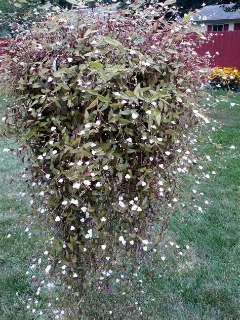 how to care for a bridal veil plant garden guides tahitian bridal veil flowers plants trees gardens