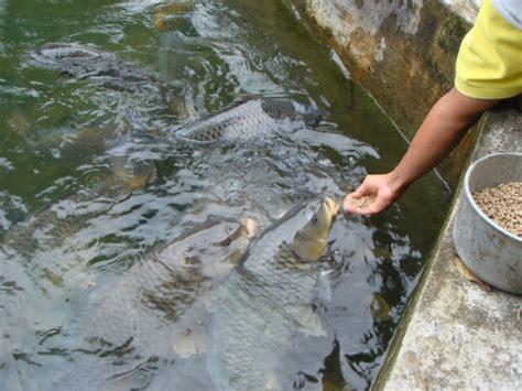 Bibit Ikan Nila Paling Bagus teknik pembibitan pemijahan dan pemilihan induk ikan