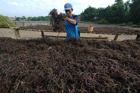 Rumput Laut Kering 500 Gr potensi rumput laut di sumba timur mencapai rp 570 miliar katadata news