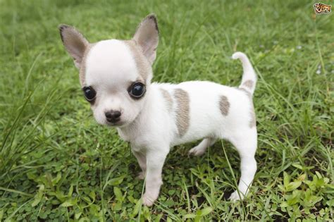 chihuahua breed chiwawa www pixshark images galleries with a bite
