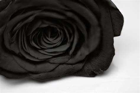 Black Rose Rosesdobloom Black Roses For