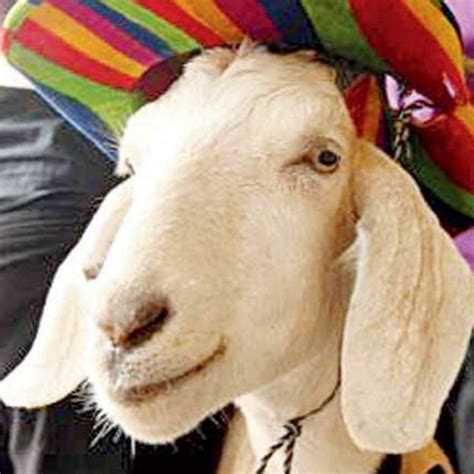 gary the gary the goat