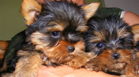teacup yorkies for sale northern ireland free terrier puppies cape town dogs in our photo