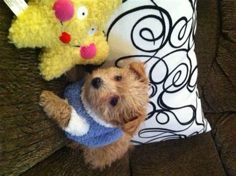 schnoodle puppies for sale michigan poodle mix breeds for sale in michigan breeds picture