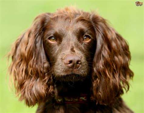 Ownership considerations for the field spaniel   Pets4Homes