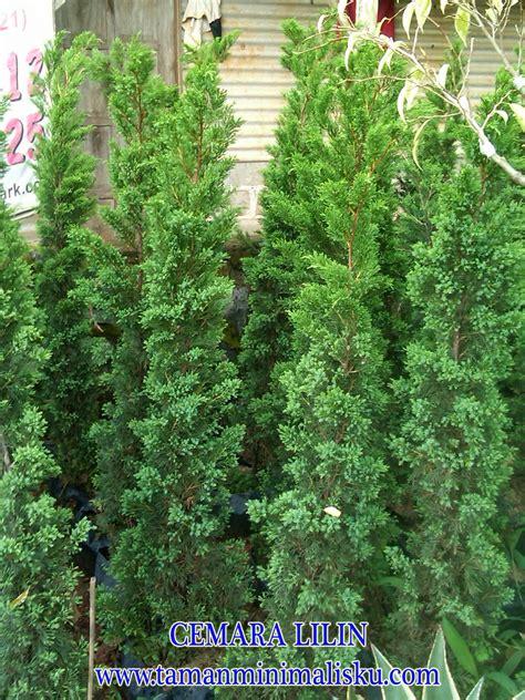 Tanaman Hias Cemara Norflok jenis jenis pohon cemara jual tanaman hias murah