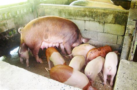 backyard piggery business backyard piggery business piggery business plan