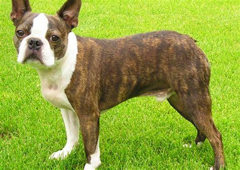 brindle boston terrier puppies brindle boston terrier animals pets boston terriers bull