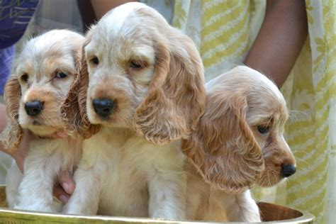 cocker spaniel puppies price cocker spaniel puppies for sale prrieti choudhurry 1 11046 dogs for sale