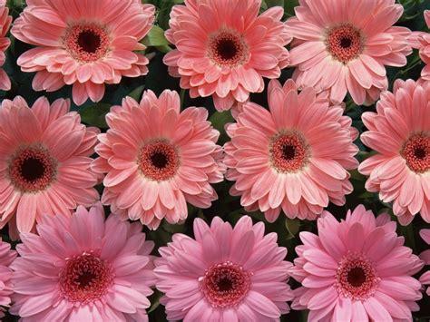 imagenes flores gerberas flor imagen im 225 genes de flores gerbera wallpapers