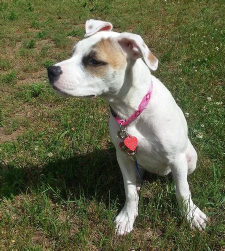 american bulldog mix puppies nami the american bulldog mix puppies daily puppy