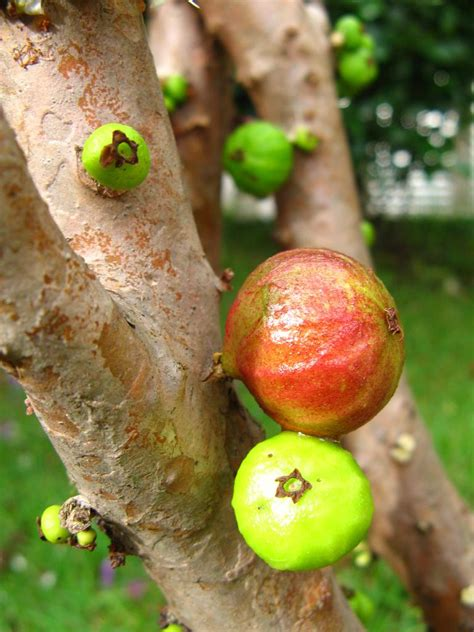 what is a of fruit trees called an tree called jaboticaba on which fruit grow