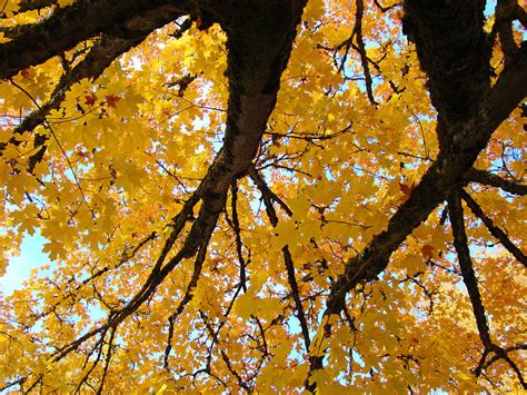 yellow fall trees prints autumn leaves photograph by baslee troutman