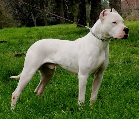 strong dogs 20 strongest breed of dogs in the world