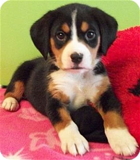 german shepherd beagle mix puppies adopted puppy struthers oh beagle german shepherd mix