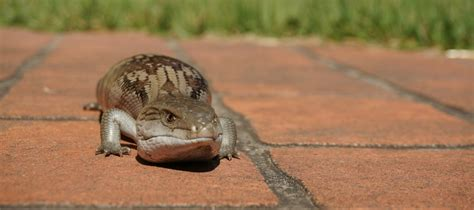 what to do if there s a blue tongue lizard in your