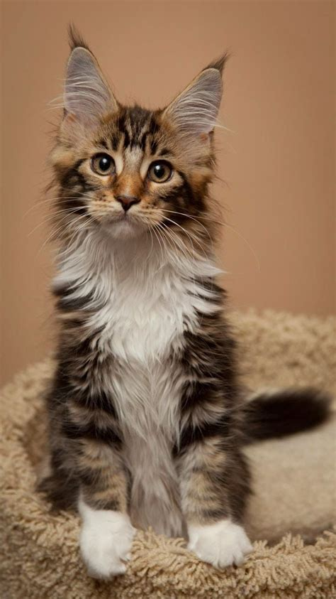maine coon cat breed maine coon cats picmia