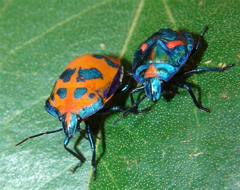 what is a bed bug file cotton harlequin bugs jpg wikipedia