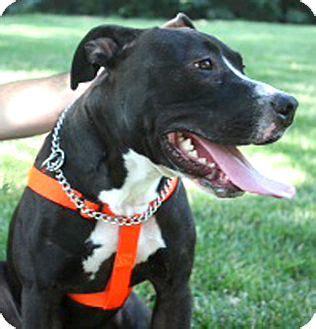 lab puppies cincinnati cincinnati oh labrador retriever american bulldog mix meet hugo a for adoption