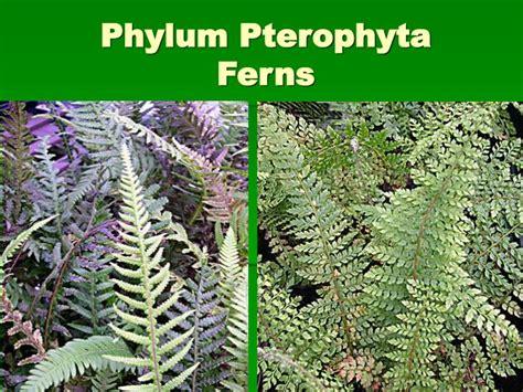 ppt seedless vascular plants powerpoint presentation id 1131093