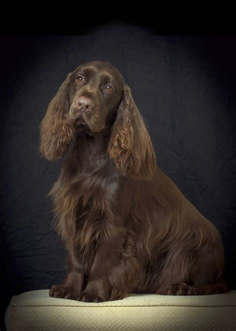 17 Best images about Dogs Field Spaniels on Pinterest ...