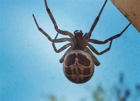 Garden Spider Vs False Widow False Widow Spiders To Invade Uk Homes Experts Warn