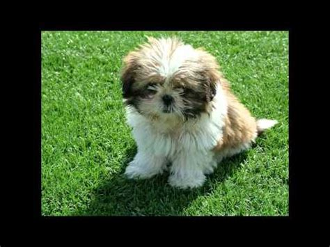 how to house a shih tzu puppy how to house your shih tzu puppy shihtzu time
