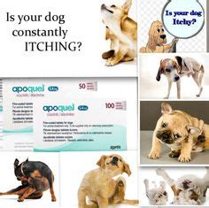 what is apoquel for dogs 1000 images about apoquel on allergies dogs and itchy
