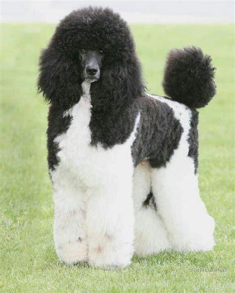 parti colored poodle best 25 standard poodles ideas on poodles