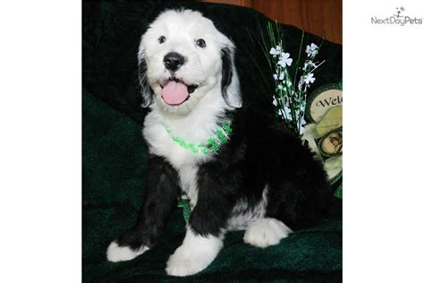 puppyspot havanese sheepadoodle breeders in arkansas breeds picture