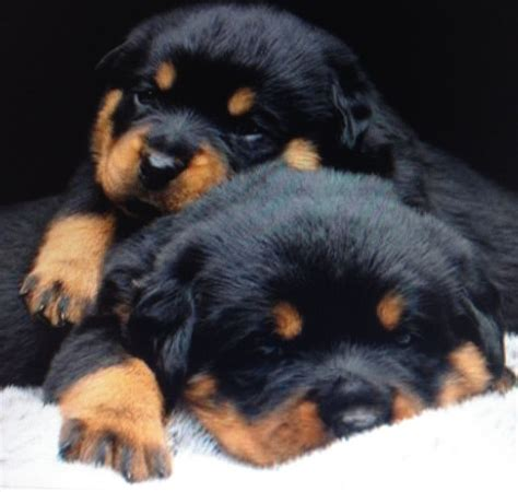 how many puppies can a rottweiler 478 best images about rottweiler on best dogs puppys and rottweiler