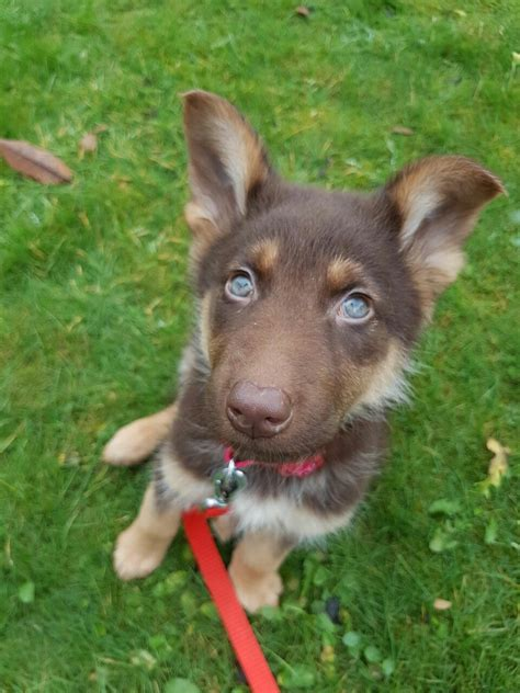 liver colored german shepherd liver german shepherd puppy with blue bonnieddog