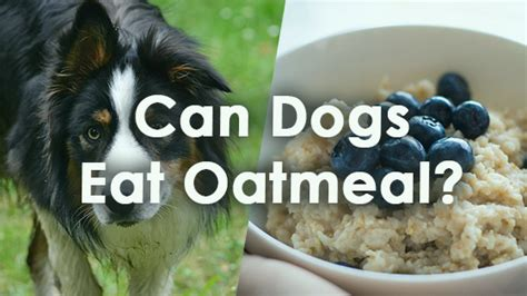 can dogs eat oatmeal can dogs oatmeal pet consider