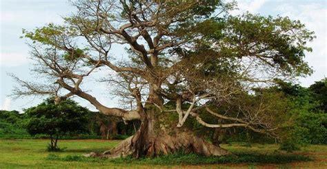 el arbol de la 8484642585 la ceiba el 225 rbol sagrado de los mayas tierras mayas