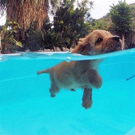 puppies swimming swimming pictures photos and images for and