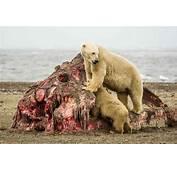 World Record Brown Bear MEMES