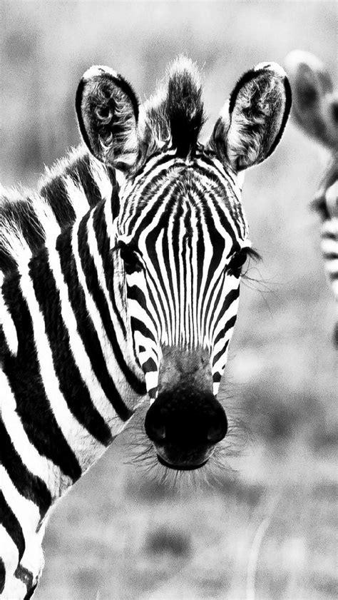 Imagenes De Cebras En Blanco Y Negro   cebra fondos de pantalla gratis my hd wallpapers com