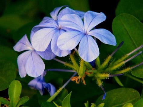 es un gnero con alrededor de 110 especies de la familia de las clases de flores flores