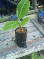 Dapatkan Raja Sale Dapatkan Sedia Sedia Dapatkan Sedia Sale Sedia Sedi infotani agro petua pisang berbuah serentak