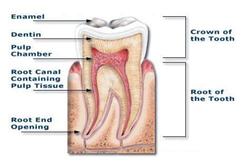 cross section of a tooth what is a root canal and why do i need one mark c