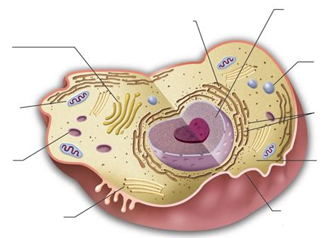 animal cell diagram with labels animal cell model diagram project parts structure labeled